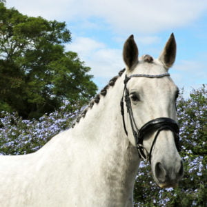 Blue Browband